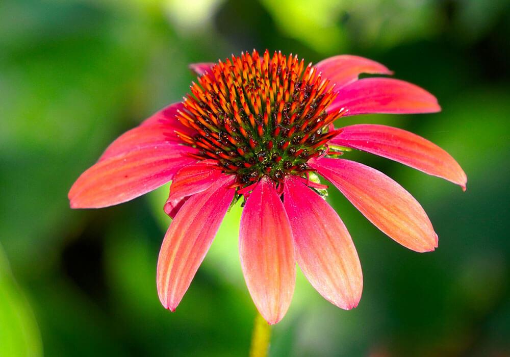 Echinacea is een krachtig kruid tegen virussen
